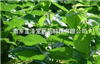 桑叶提取物,桑叶多糖10~40%Mulberry Leaf Extract